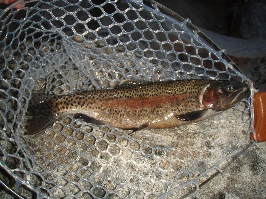 Wild Native Rainbow Trout in Spawning Colors